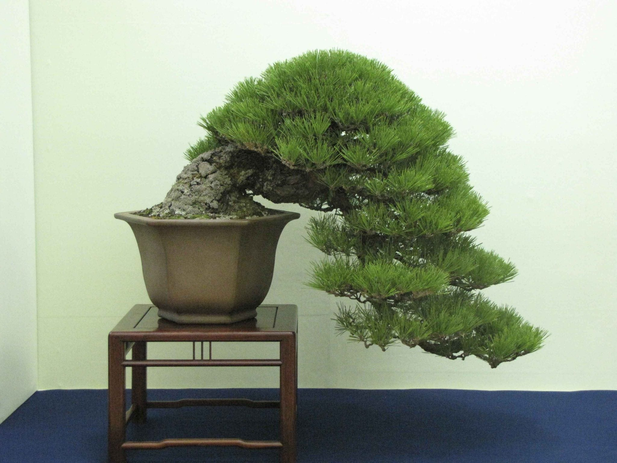 Japanese Black Pine Bonsai Tree