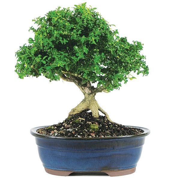 Japanese Kingsville Boxwood Make Your Own Bonsai Tree