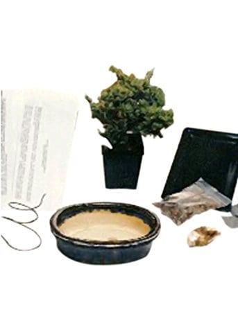 Juniper Procumbens Make Your Own Bonsai Tree