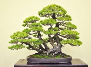 Multitrunk bonsai style (kabudachi)