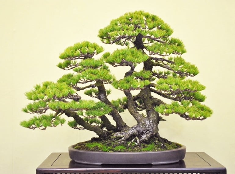Bonsai Styles Bonsai Tree Gardener