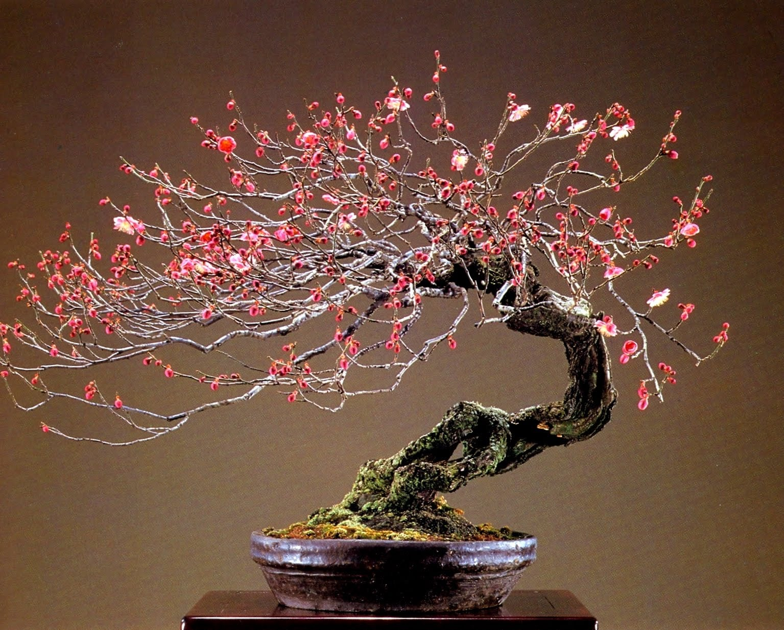 Prunus-Mume-Japanese-Apricot-Bonsai Wiring Bonsai on bonsai lamps, bonsai jade, bonsai tools, bonsai starter, bonsai cultivation and care, bonsai tree, bonsai blue, bonsai artist, bonsai copper wire, bonsai accessories, bonsai wire sets, bonsai wire sizes, indoor bonsai, national bonsai foundation, bonsai ficus varieties, bonsai shapes, bonsai without wires,