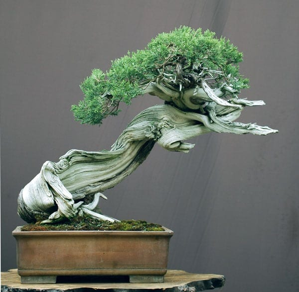 Rocky Mountain Juniper by Walter Pall