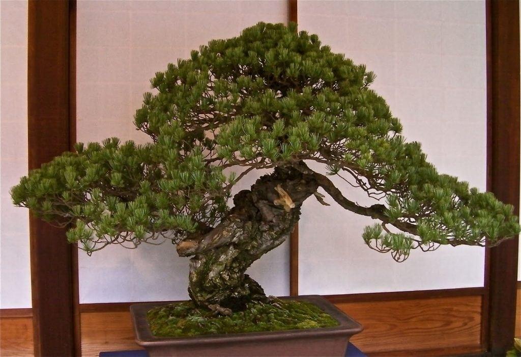 Sandai Shogun no Matsu Bonsai
