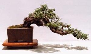 Semi-cascade bonsai style (han-kengai)
