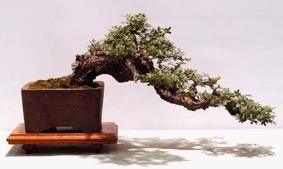 Phenomenal 10 Coolest Looking Bonsai Trees Bonsai Tree Gardener Wiring Cloud Hisonuggs Outletorg