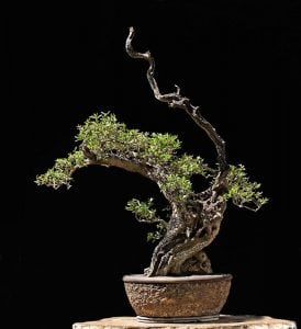 Shari bonsai style (sharimiki)