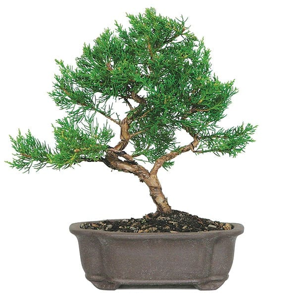 Shimpaku Juniper Make Your Own Bonsai Tree
