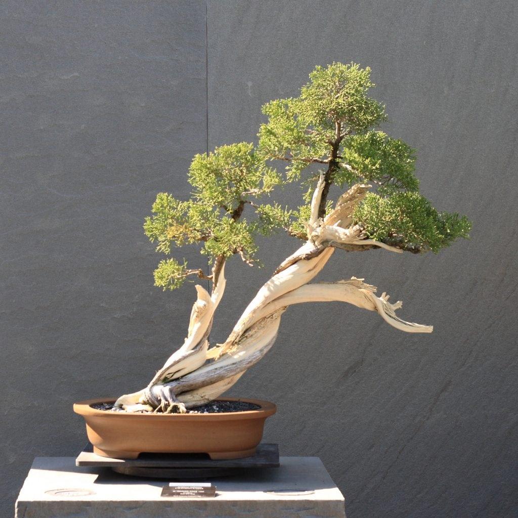Slanting bonsai style (shakan)