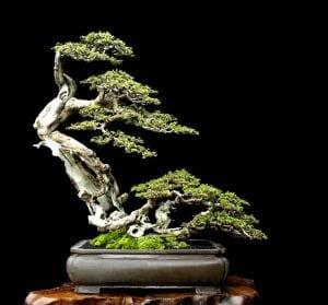 Windswept bonsai style Fukinagashi