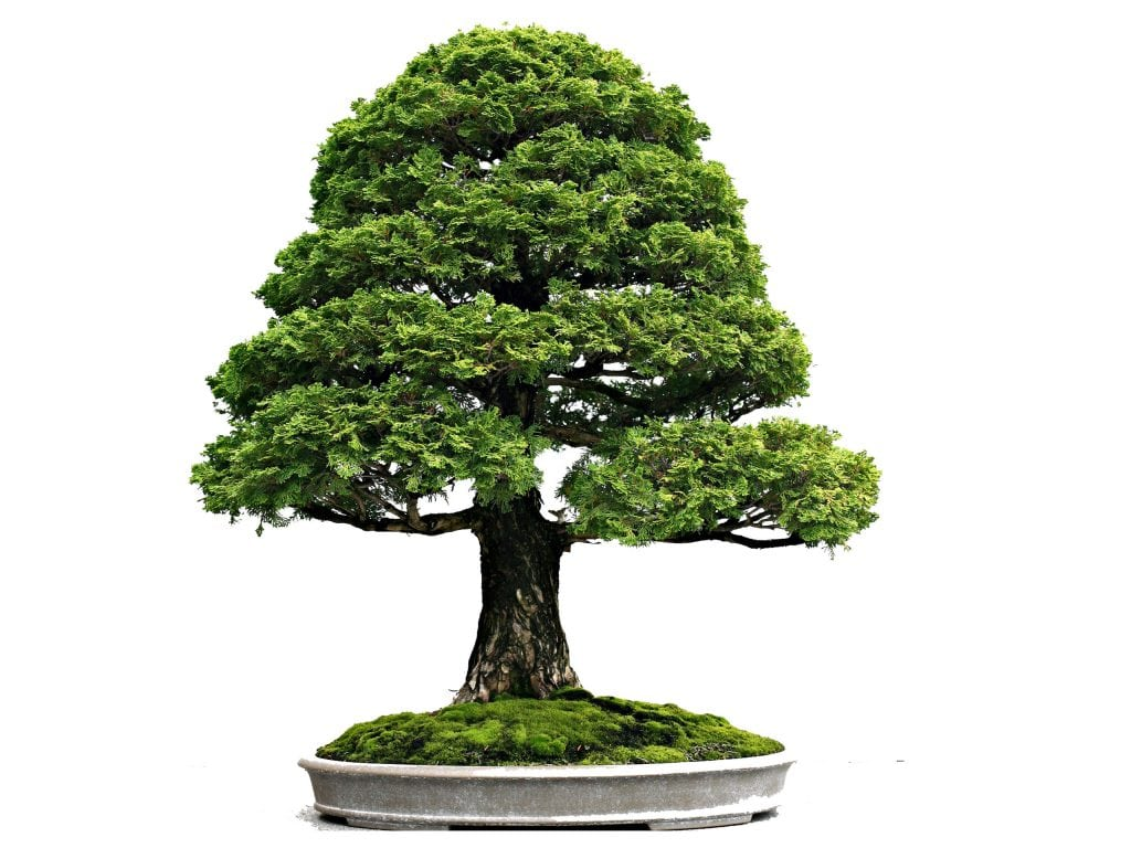 simplicity in every bonsai design