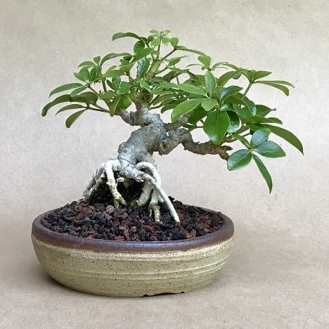 Bonsai Trees That Grow Under Low Light Bonsai Tree Gardener