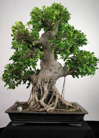 How To Prune Ficus Bonsai To Make It Thrive Bonsai Tree