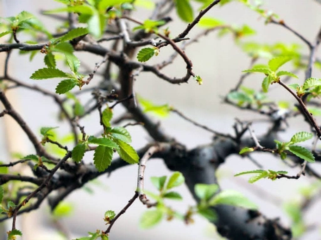 How to Revive a Bonsai Tree with Dry and Brittle Leaves ...