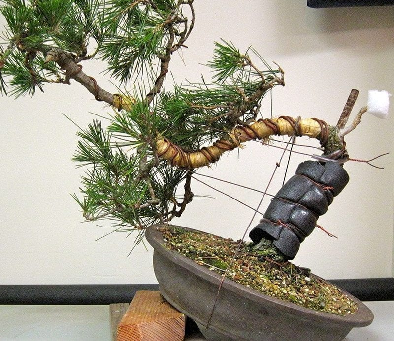 Excellent How To Bend Bonsai Tree Trunks Bonsai Tree Gardener Wiring Database Scataclesi4X4Andersnl