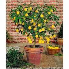 How To Bonsai A Lemon Tree Bonsai Tree Gardener