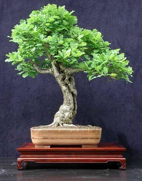 How To Bonsai An Oak Sapling Bonsai Tree Gardener