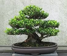Excellent How To Use Wire Cutters To Grow Bonsai Trees Bonsai Tree Gardener Wiring Cloud Mangdienstapotheekhoekschewaardnl